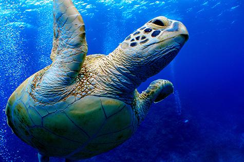 ダイビングでウミガメと遭遇する写真